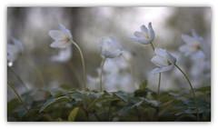 Save the last Dance for me (ursulamller900) Tags: diaplan28100 extensiontubes 12mm makroring anemonenemorosa forest wald white waldgrund bokeh dance flower buschwindröschen