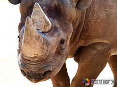 Rhino © RobertHortonPhotography - 2017__4151190 1_20 (Robert_Horton) Tags: rhino roberthortonphotography blackrhino