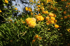 Kerria Japonica (JP Photography74) Tags: flowers yellow shrub nature spring outdoors plants uk england staffs canon sigma garden