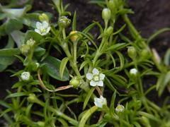 ツメクサ (nofrills) Tags: tiny roadside ツメクサ japanesepearlwort plant plants flora floral flower flowers white whiteflowers macro weed weeds green japan