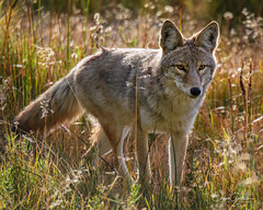 Intensity (craig goettsch) Tags: gibbonriver yellowstonenp coyote animals mammal canine wildlife nature nikon d500