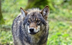 the lonesome wolf (gabrieleskwar) Tags: outdoor wolfsgehege anhold wolf tiere