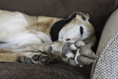Talk To The Hand! - 52 Weeks For Dogs, 16/52 (me'nthedogs) Tags: ruben lurcher longdog 52weeksfordogs 1652