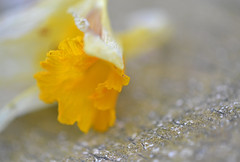 It is Finished 2 (MTSOfan) Tags: daffodil finished withered blossom dying pastprime macro flower