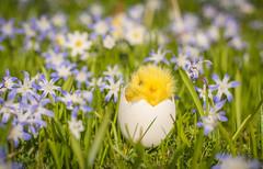 Happy Holy Saturday! (~Ranveig Marie~) Tags: snøstjerne snøstjerner hvitveis kvitveis easter ornament lawn plen hage garden chionodoxaforbesii forbesgloryofthesnow gloryofthesnow grotesneeuwroem