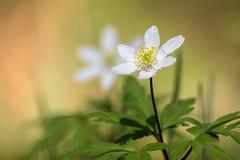 Buschwindröschen, Wood Anemone, Anémone Des Bois (Stefanie Heilein) Tags: anemone wood forest spring buschwindröschen printemps anémone frühling wald nature light
