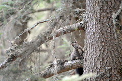 LEO_7595m (MILESI FEDERICO) Tags: milesifederico milesi montagna italia italy iamnikon inmontagna piemonte piedmont primavera wild nikon nikond7100 nital natura nature nat visitpiedmont valdisusa valsusa valledisusa valliolimpiche alpi alpicozie altavallesusa altavaldisusa europa europe d7100 dettagli 2017 cittàmetropolitanaditorino salbertrand fauna animale wildlife scoiattolo