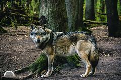 (Grille1991) Tags: pentax pentaxk3 k3 pentaxart pentaxlife twop theworldofphotography wolf animal lightroom forrest natur carnivor carnivore wolfcenterdörverden beauty wild wölfeindeutschland niedersachsen canislupuslupus