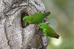 _5009559 (K S Kong) Tags: nikon200500mmf56e parrot
