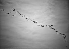 a passage in time (Mister Blur) Tags: flock flamingo sky sisal yucatan dinosaurs pteranodon blackandwhite blancoynegro nikon d7100 deadcandance méxico