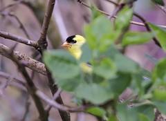 Shh, I'm Hiding (robinlamb1) Tags: nature animal bird outdoor finch americangoldfinch backyard aldergrove lilac