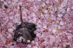 End of Spring 春の終わり (runslikethewind83) Tags: japan sakura cherryblossoms spring season pink water 2017 pentax petals 日本 春 桜 季節