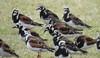 'Akekeke or Ruddy Turnstones  (Arenaria interpres) at the Kualoa Regional Park in the Ko'olaupoko area of Oahu, Hawai'i (Kanalu Chock) Tags: akekeke ruddyturnstone arenariainterpres kualoaregionalpark koolaupoko oahu hawaii bird
