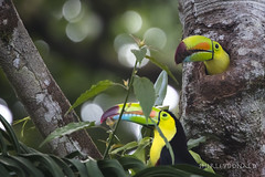 Keel-billed Toucans at the Nest (sfdonald) Tags: costarica costarica2017 keelbilled nest toucan tucanpiquiverde ramphastossulfuratus bird neotropical cavity