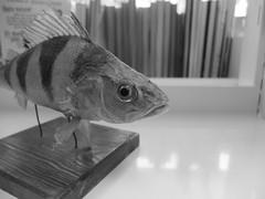 stuffed fish (larsniel) Tags: fish stuffed strange bookshelf eyes library bw x10 fuji