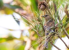Brambling (okiox) Tags: autumn brown tree cute green japan pine pose asia small feather finch sparrow friendly okinawa migration ye chaffinch plumage fringilla brambling montifringilla