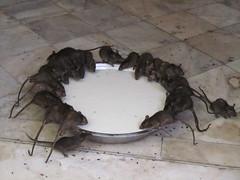 Ratten (LeoKoolhoven) Tags: india rat karnimata deshnok 2014 ratten rattentempel