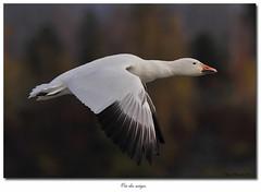 Oie des neiges / Snow Goose IMG_1501 (salmo52) Tags: birds oiseaux victoriaville snowgoose chencaerulescens oiedesneiges réservoirbeaudet salmo52 alaincharette
