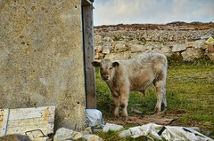 10-2014-Farmhouse Cow-Galway (Valerie Sauve-Vancouver) Tags: travel ireland galway animals farmhouse cow adventure