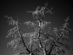 Aspen at Arrowhead Summit ([ dg ]) Tags: tree nature dead utah sundance alive aspen stark arrowhead mostly nearly survive
