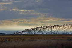 fall migration (champbass2) Tags: california usa landscape geese migration swarm migratorybirds pacificflyway whitefrontedgeese cloudedsky fallmigration champbass2