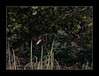 Kingfisher in flight 2 (tkimages2011) Tags: blue orange bird flight kingfisher sthelens merseyside carrmill