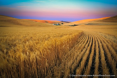Palouse Harvest (David Swindler (ActionPhotoTours.com)) Tags: summer washington wheat harvest fields agriculture palouse palouseharvest
