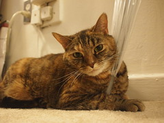 """PC300168 (Raccoon Photo) Tags: pet cats pets cute love animal animals cat fur paw furry feline kittens pixie domestic kitties paws companions """"love animals"""" eyes"""" cat"""" """"pixie kamalani """"domestic ball"""" """"cat cats"""" """"fur """"adorable stardust"""" """"adopted"""