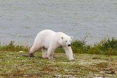 Young Polar Bear @ Churchill, Manitoba - Summer (Pzado) Tags: bear wild white wildlife manitoba polarbear churchill polar ursopolar jeguiando