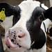 Welttierschutzgesellschaft_KUH+DU_Nutztiere_Milchkühe_Brodowin_Kalb_1