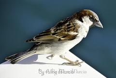 Gorrión marinero (AlmaMurcia) Tags: nikon pájaro gorrión tabarca d7000 almamurcia fotoencuentrosdelsureste 29salida