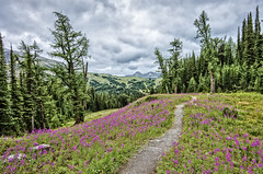 Assiniboine area (Aitor Garca Vias - agvinas) Tags: lake canada flower tree rock pine river jasper purple britishcolumbia rocky glacier louise alpine alberta bloom banff grizzly isle assiniboine yoho ountain improvementdistrictno9
