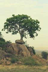 Tree of life (Henning Supertramp) Tags: africa animal animals sunrise landscape tanzania tiere kenya wildlife september safari mara afrika serengeti landschaft kenia lakevictoria masaimara eastafrica 2014 maasaimara ostafrika tansania drifters greatriftvalley wildtiere victoriasee groserafrikanischergrabenbruch