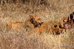 DSC_9571 (Arno Meintjes Wildlife) Tags: africa southafrica feeding wildlife lion safari bigcat cubs predator big5 pantheraleo arnomeintjes
