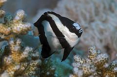 Dascyllus aruanus (tbanny) Tags: underwater redsea egypt diving reef gypten riff rotesmeer uwfoto fishtauchen