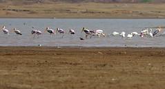 Painted storks ($udhakar) Tags: bird birds iso800 pentax 300mm hyderabad f71 stork paintedstork gandipet paintedstorks fromarchives 12500s wwwsudhakarcom smcpda300mmf4edifsdm pentaxk5