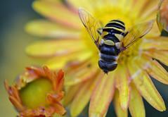 A Little Past Six (MTSOfan) Tags: macro yellow insect mum