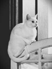 Gato na janela… (Márcio Vinícius Pinheiro) Tags: brazil bw white branco brasil paraty cat feline rj pb gato felino pussycat domesticcat feliscatus gatodoméstico