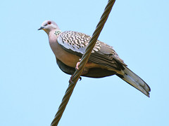 Spotted_dove_03 (Jyotiprasads) Tags: birds commonbirds birdsofodisha odishabirds