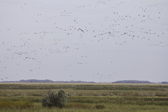 Geese-nado 2 (awaketoadream) Tags: canada birds canon eos flying geese oak october wildlife canadian manitoba cattails hammock marsh migration 2014 60d
