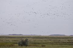 Geese-nado 2 (awaketoadream) Tags: canada birds canon eos flying geese oak october wildlife canadian manitoba cattails hammock marsh migration 2014 60d