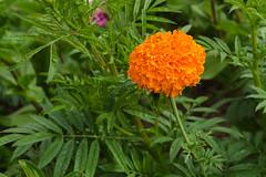 DSC_6894 (sir.yoga) Tags: flowers bratsk easternsiberia