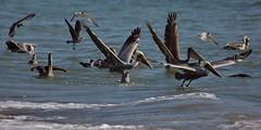 Brown Pelicans, Gulls and Terns, Santa Monica Bay CA CQ4A1604 (Hart Walter) Tags: brownpelican malibulagoon marbledgodwit earedgrebe santamonicabay pelicanfeedingfrenzy