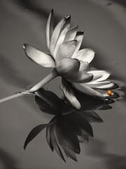 Exploring the Lotus World (Padski1945) Tags: blackandwhite monochrome ladybird lotusflower punctata rhsgardens artisticflowers rhskewgardens arborsquare theladybirdexploringtheworld l1tinyworlds