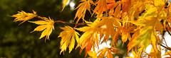 WESTONBIRT COLOUR (chris .p) Tags: uk autumn trees england colour tree nikon october arboretum cotswolds gloucestershire westonbirt gb cotswold 2014 d610