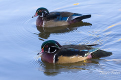 Pair of wood ducks.