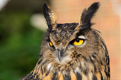 owl birdsofprey eagleowl royalgauntlet