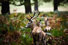 Gaze back (Matthew Chaplin) Tags: park uk autumn trees england tree london leaves animals canon stag wildlife richmond deer 5d mkii