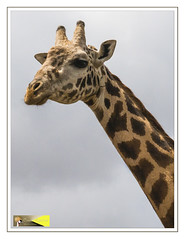 Giraffe Portrait, Nairobi National Park (Crested Aperture Photography) Tags: kenya nairobi central ke giraffe greatnature nairobinationalpark