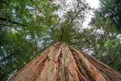 Sequoia Parque de Bertiz (oscario65) Tags: 8mm sequoia bertiz samyang